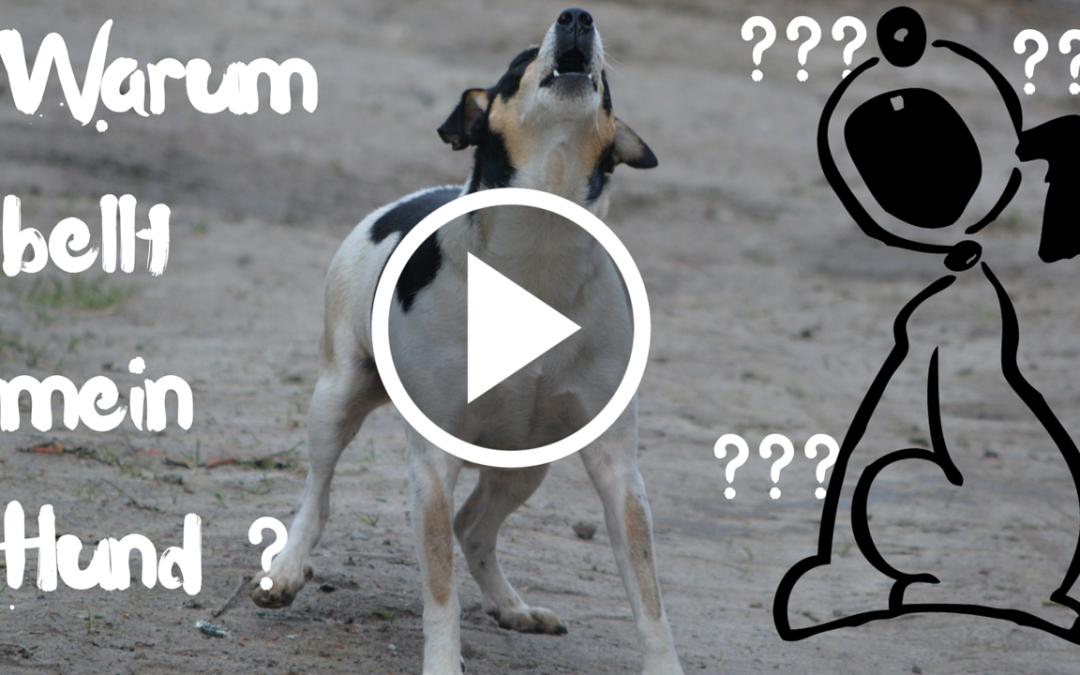 Warum bellt mein Hund? Was übermäßiges Bellen über deinen Hund verrät.