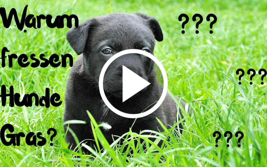 Warum frisst mein Hund Gras? Was Grasfressen über euren Hund verrät