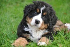 bernese-mountain-dog-1177074_1280