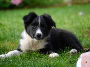 border-collie-1167898_1280