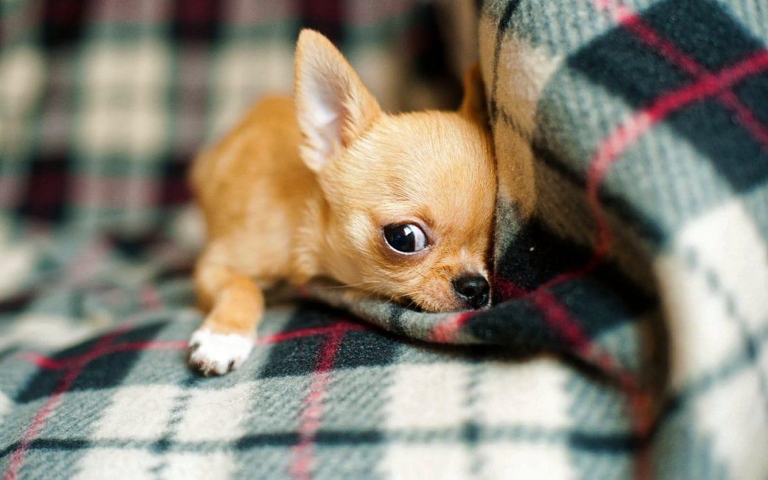Welche Hunderassen eignen sich für Anfänger?