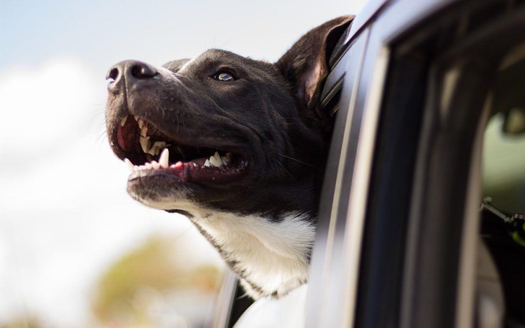 Wie müssen Hunde im Auto transportiert werden?