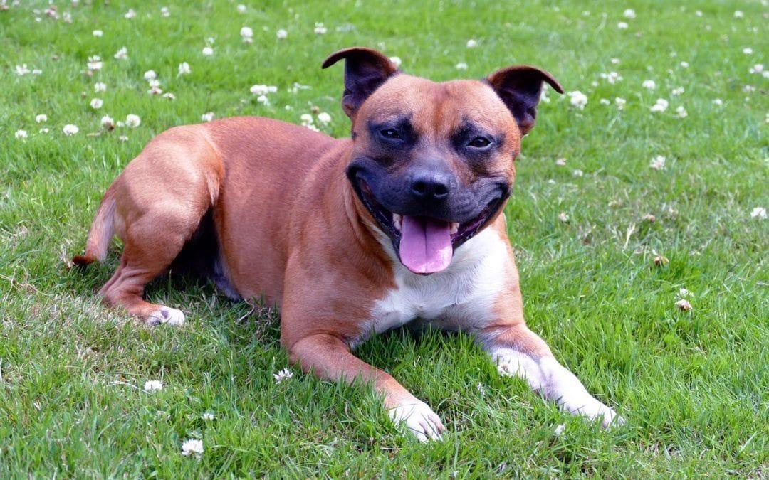 Staffordshire Terrier: Tipps für Besitzer