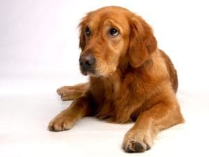 golden-retriever-642016_1280