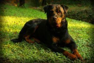 rottweiler-684880_1280