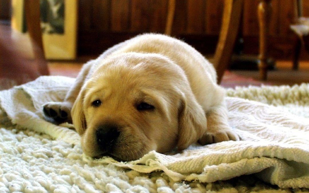 Haarig: Worauf Hundehalter beim Teppichkauf achten sollten