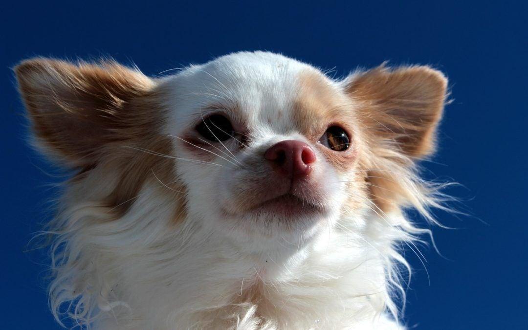 Chihuahuas: Die neuen Pudel