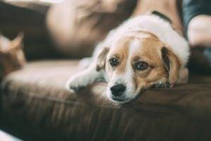 Hund Couch