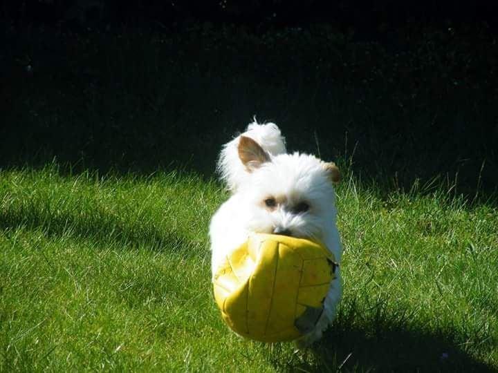 Hunde Foto: Ute und Monty – Wer spielt schon Fußball, Schnauzball ist viel besser.