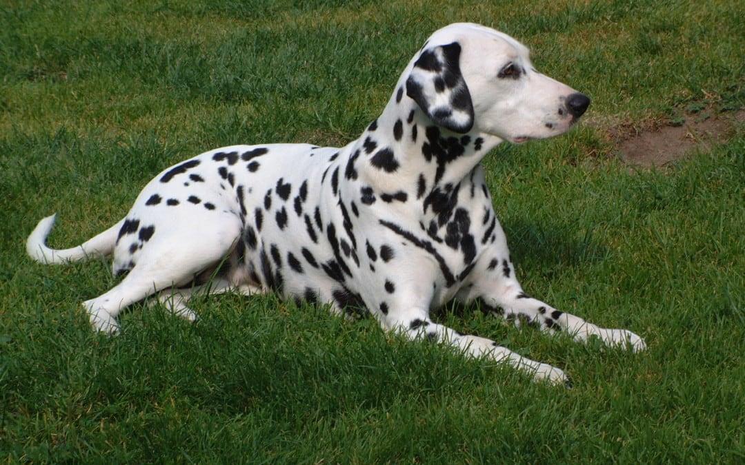 Hunde Foto: Gerd und Ina vom Roßbach – Dalmatiner vom Roßbach