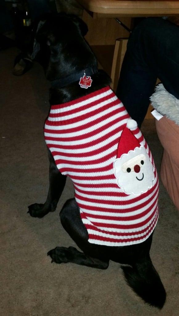 Hunde Foto: Uschi und Perry - Schick für die Weihnachtszeit