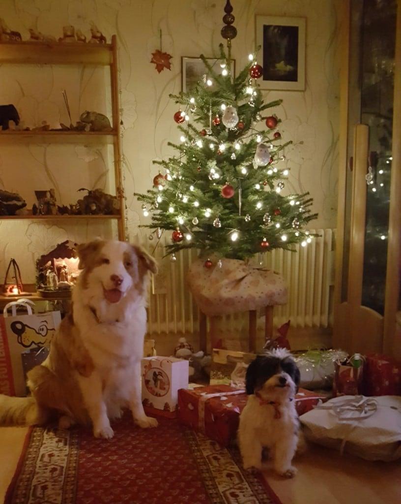 Hunde Foto: Silvia und Yuma und Buddy - Frohe Weihnachten