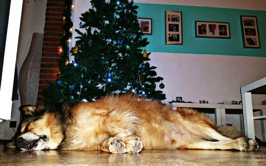Hunde Foto: Micha und Mogli - Weihnachten kann so anstrengend sein