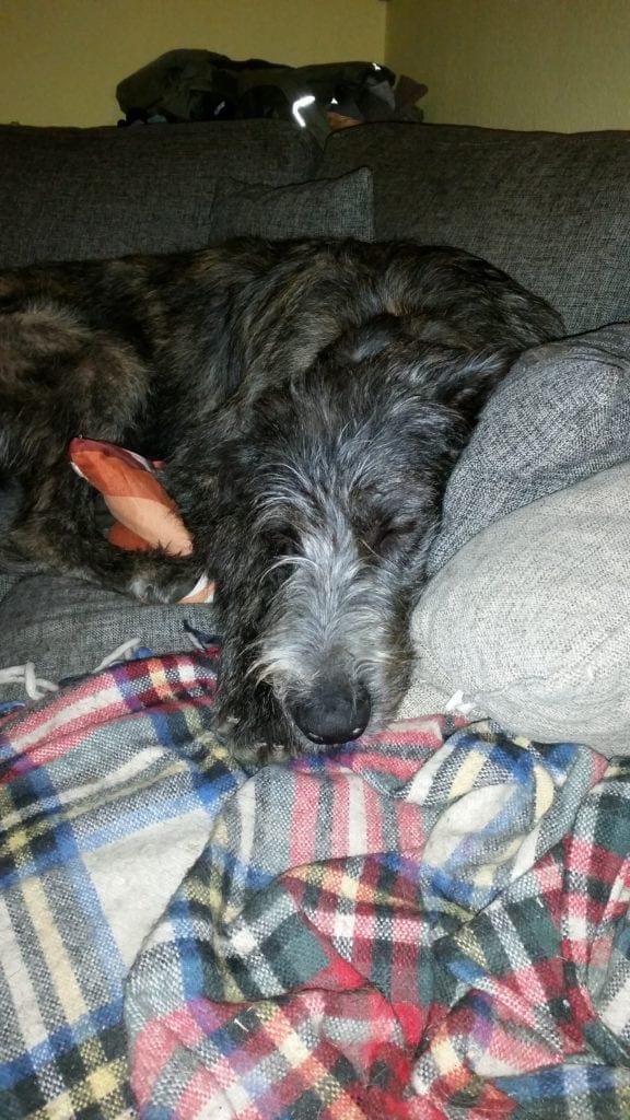Hunde Foto: Claudia und Brave King Flynn - Irischer Wolfshund