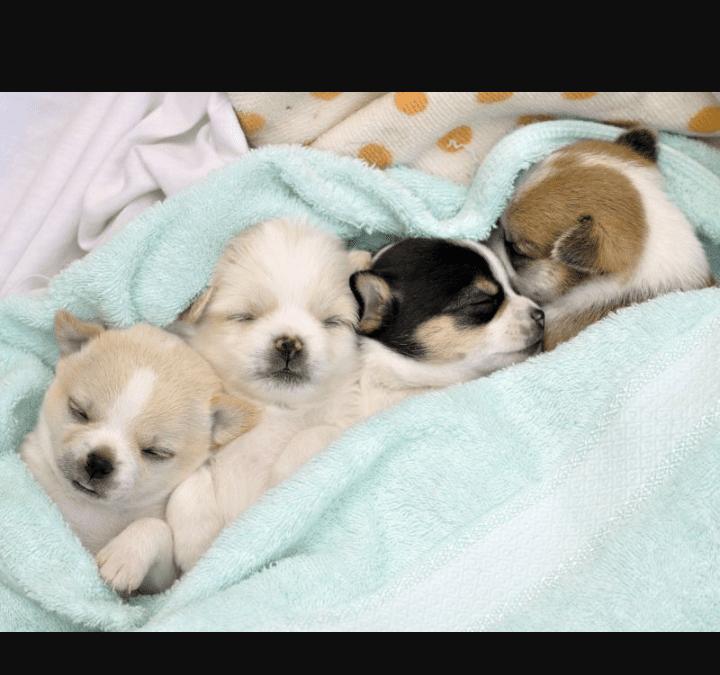 Hunde Foto: Arzu-Nur und Elli,emmi,astariks,mutig – 4 Süße welpen einfach zum verlieben