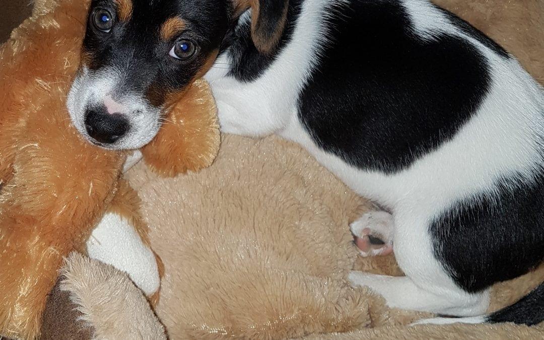Hunde Foto: Lilo und Whisky – Jack Russel Welpe