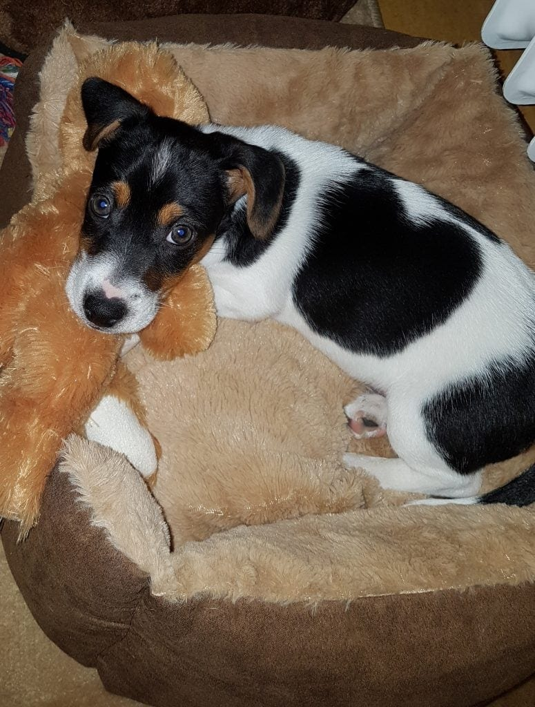 Hunde Foto: Lilo und Whisky - Jack Russel Welpe