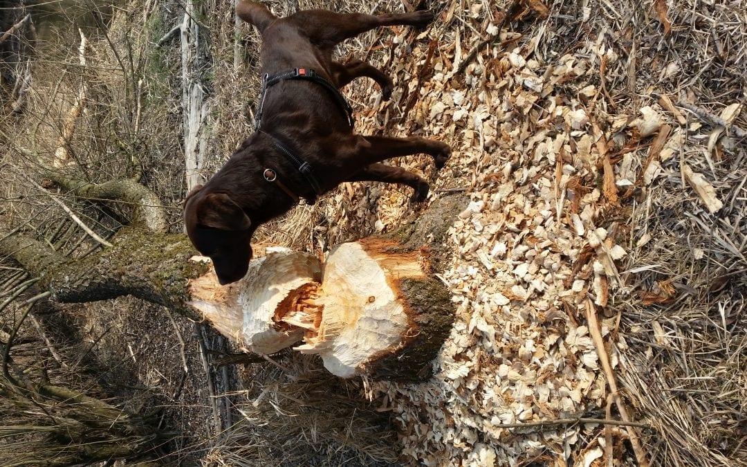 Hunde Foto: Hans-Peter und Cody – Biber killen meinen Baum!