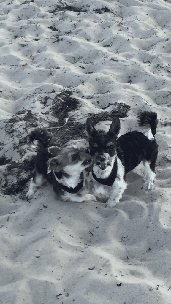 Hunde Foto: Cécile und Fiesta& Julie - Zwerge im Spielrausch am Ostseestrand😍