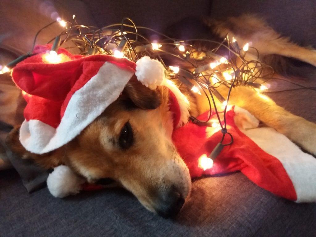 Hunde Foto: Beate und Sam - Sam der Weihnachtshund