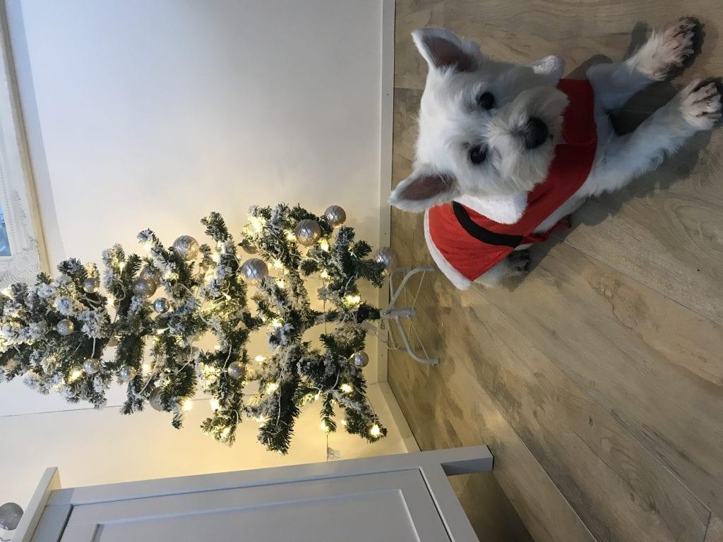 Hunde Foto: Chloe und Chica - Chica wünscht frohe Weihnachten!