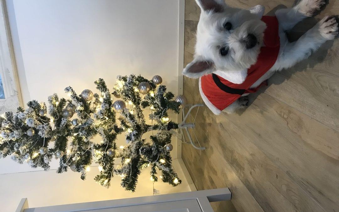 Hunde Foto: Chloe und Chica – Chica wünscht frohe Weihnachten!